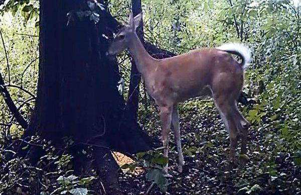 Deer Fart (Video) - http://www.viralbuzzspot.com/deer-fart-video/