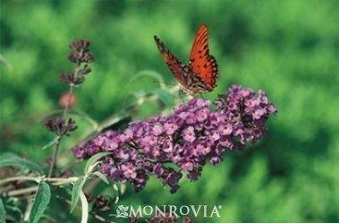 Purple Dwarf Butterfly Bush | Home > Plant Catalog > Petite Plum® Dwarf Butterfly Bush