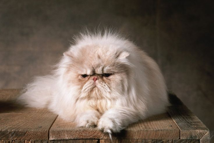 Perská kočka: Královna mezi kočkami