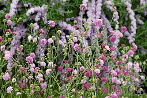 KNAUTIA_MACEDONICA_MELTON_PASTELS_AND_BUDDLEJA_ALTERNIFOLIA