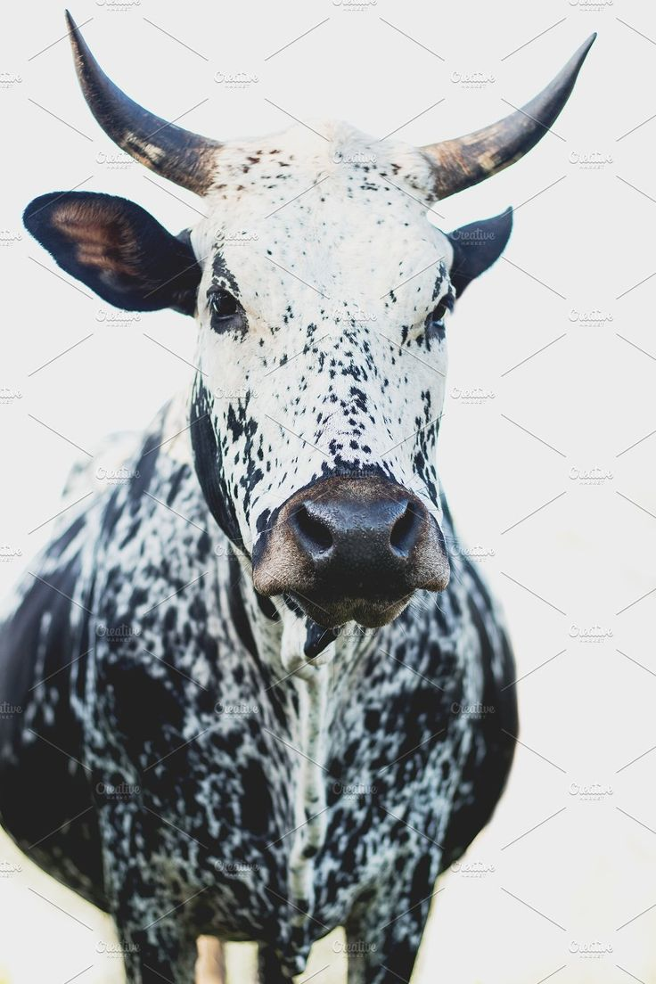 Black and White Nguni Cow by René Jordaan Photography on @creativemarket