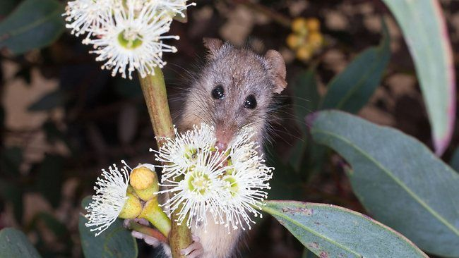 Honey Possum (Tarsipes rostratus)- A once desolate piece of South-West Australia is attracting dozens of native species, including a tiny possum with the biggest testicles of any mammal, relative to its weight.