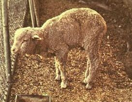 White Muscle Disease in sheep and goats and how to treat it.