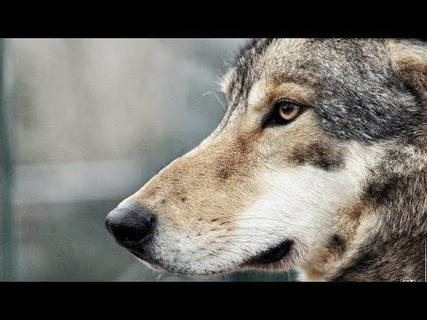the reintroduction of wolves Wolf reintroduction to yellowstone park ted fessides ecology, summer semester 2011 professor thomas heasley july 15, 2011 contents introduction 3 history 4 the cons of wolf reintroduction 6.