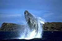 Whale Watching on Kauai. May is the tail end of whale season but please please let me see one!!