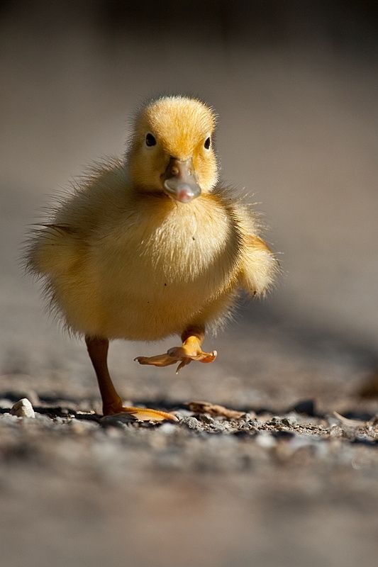 Duck by Robert Adamec