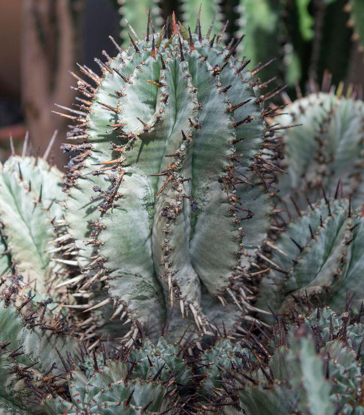 Молочай ощетиненный / Euphorbia horrida