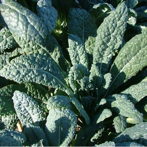 200+ Dinosaur Kale Vegetable Seeds , under sun plant,cabbage seeds #clothing,#shoes,#jewelry,#women,#men,#hats,#watches,#belts,#fashion,#style