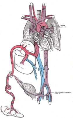 Circulation of the fetus:   The Ductus arteriosus -  A short broad vessel in the fetus that connects the pulmonary artery with the aorta, conducting most of the blood directly from the right ventricle to the aorta, bypassing the nonfunctioning lungs.