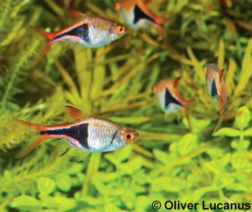 18 best images about aquarium fish on pinterest plant for Freshwater schooling fish