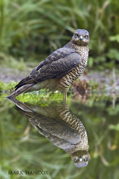 Sparrowhawk - Mark Hancox Bird Photography