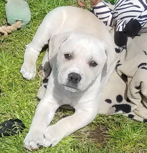 Clapton Adoptable Dog Puppy Male Golden Retriever Mix Dog