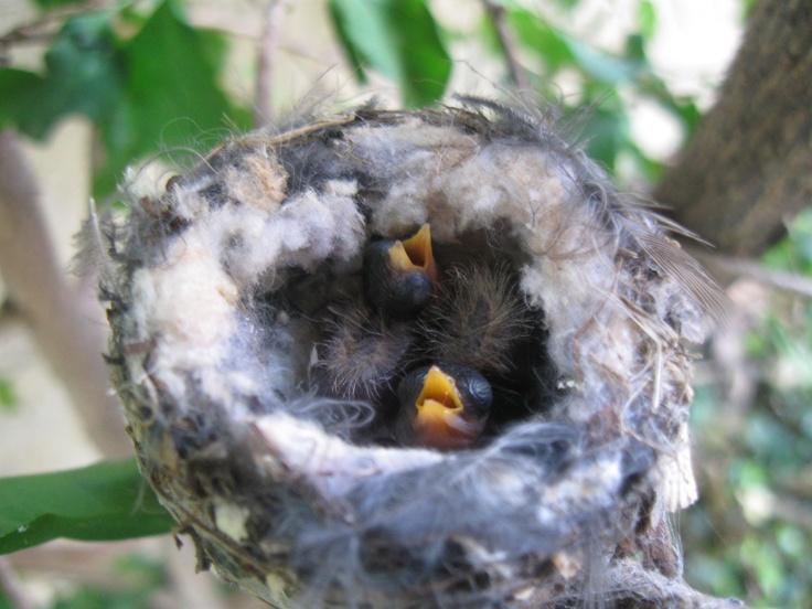 Baby hummingbirds Baby hummingbirds, Hummingbird, Animals