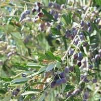Cretan Olive Oil: Learning About Olives in Greece
