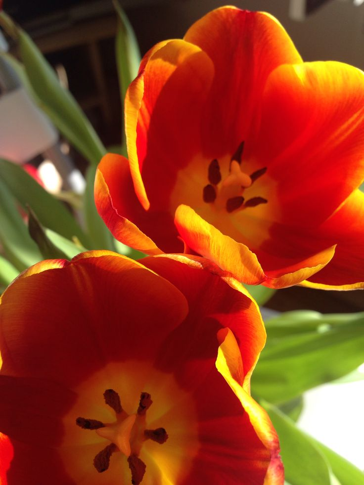 Tulipany :)