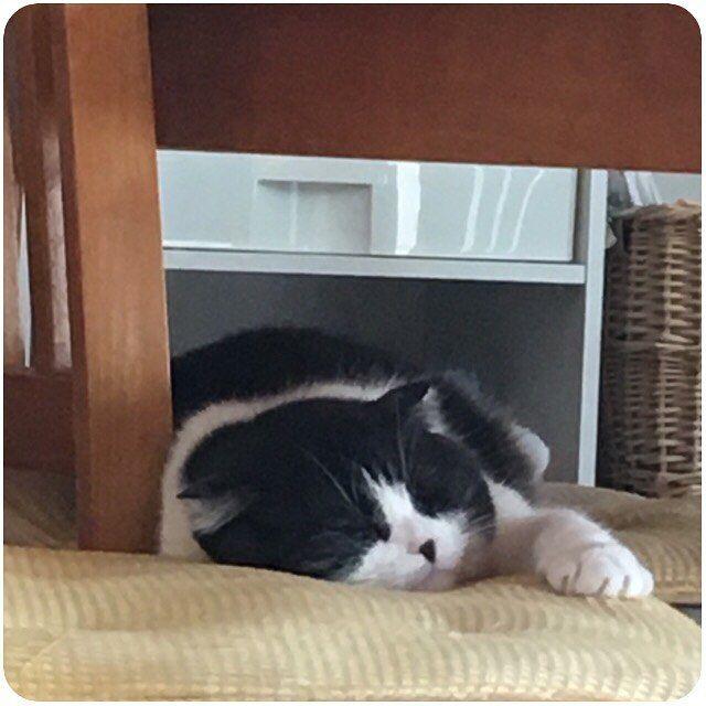 🐾 ・ 幸せそうな顔して寝てる💕 ・ #至福の時間 #ペタンコ猫  #スコティッシュフォールド #スコ #スコ部 #猫 #ねこ #愛猫 #くぅ #ペット #にゃんこ #scottishfold #cat #neko  #pet #kitty #catstagram #nekostagram #petstagram #instacat #lovecat #tomcat #스코티시폴더 #고양이 #애완동물