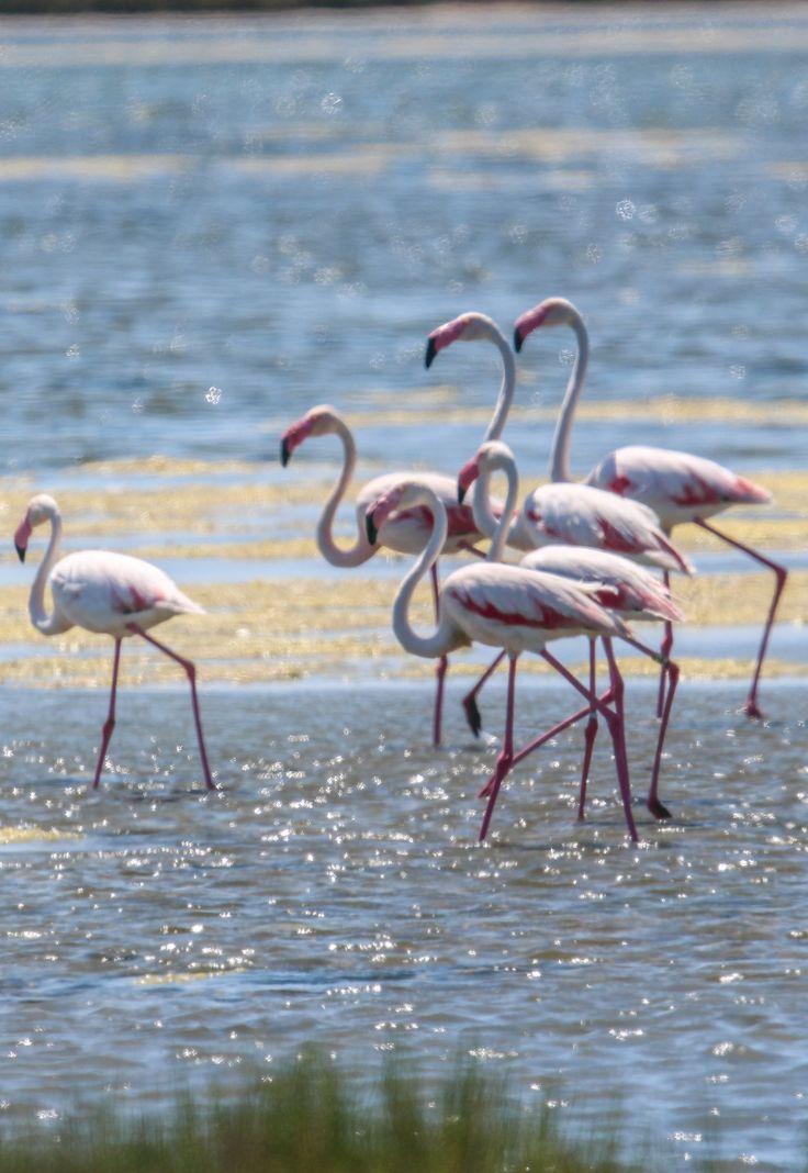Flamingos aigues mortes france animals pinterest - Flamant rose camargue ...