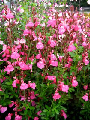 Salvia Suncrest 'Flamenco Rose': Flamenco Rose, Fellow Gardens, Long Bloom Gardens, Plants, Gardens Seasons, Skagit Gardens