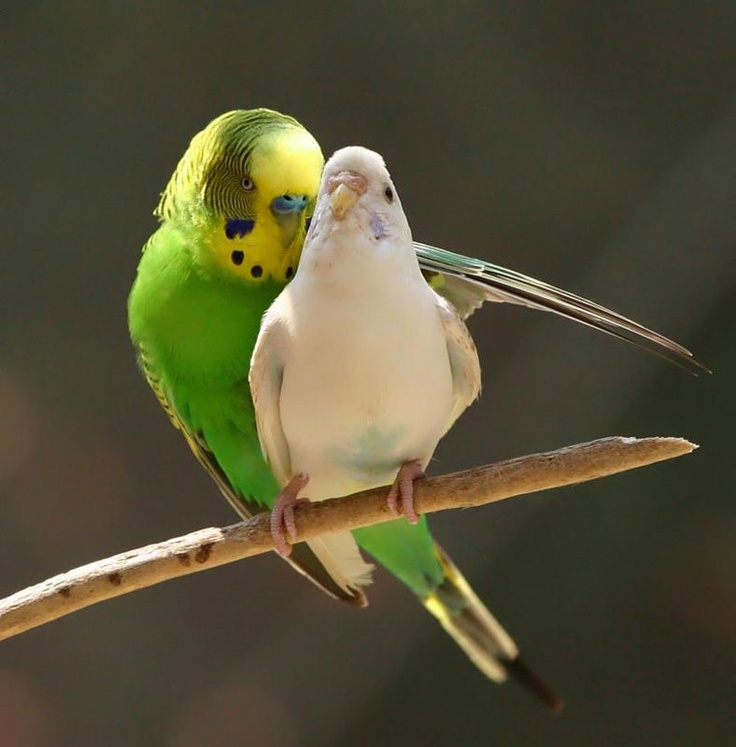 1000 images about budgies on pinterest cats love birds