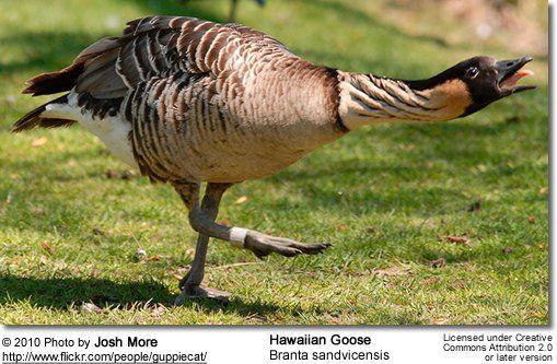 Hawaiian Goose or Nene Goose (Branta sandvicensis)
