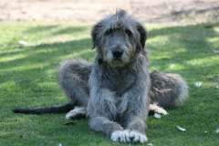 irish wolfhound pups | puppies for sale cranbourne Victoria | Irish Wolfhound dogs for sale in Australia - http://www.pups4sale.com.au/dog-breed/444/Irish-Wolfhound.html