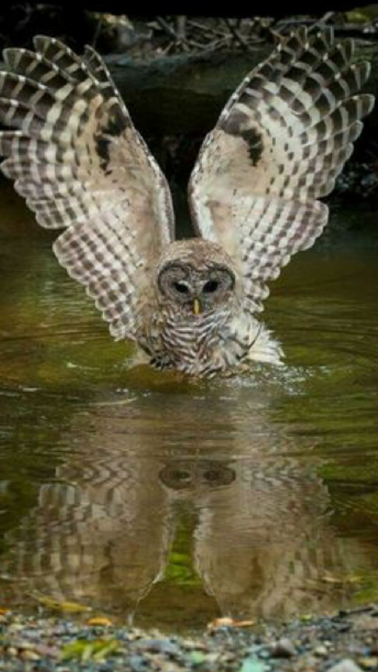 Owl swooping over water to catch something.
