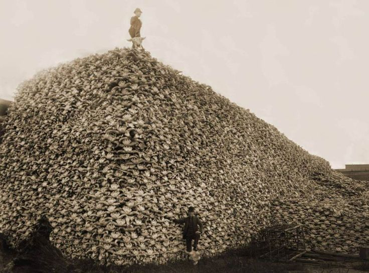 The Near-Extinction Of The American Bison - Once numbering in the hundreds of millions in the United States (that's right, hundreds of millions), bison were hunted down to a mere thousand by 1890. Most of the story of how this happened can be inferred by the picture above. Read more at http://all-that-is-interesting.com/popular-interesting-pictures/2/#s98B33U7OwvP23KA.99