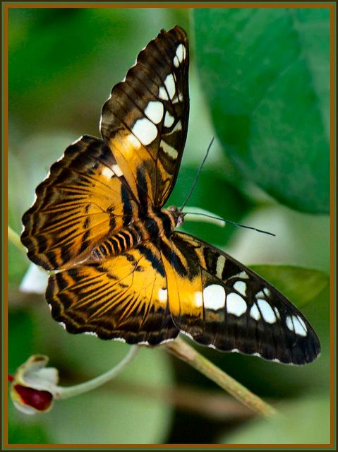 Brown Clipper butterfly (Parthenos Sylvia)