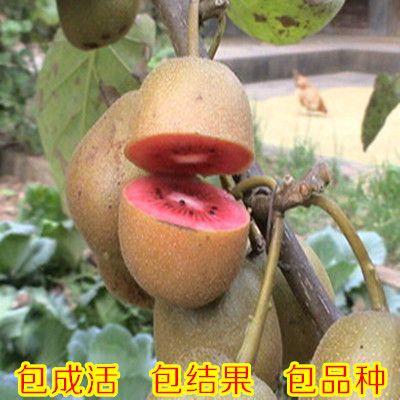 Саженцев фруктовых деревьев красное сердце КИВИ посадка садовых деревьев Новой…