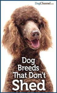 Looking for dogs that don't shed? Find a non-shedding dog with our list of dog breeds that don't shed.