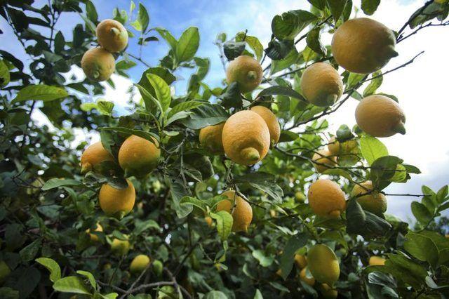 Eureka Lemon trees can be quite an asset.