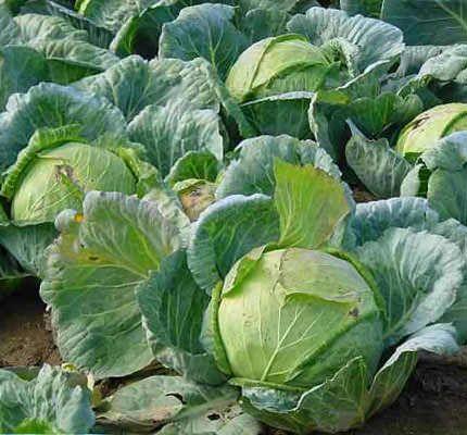 Простейшие способы защиты капусты от вредителей
