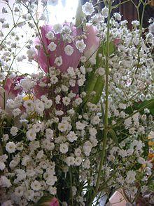 Gypsophila elegans / baby's breath- Wikipedia, the free encyclopedia