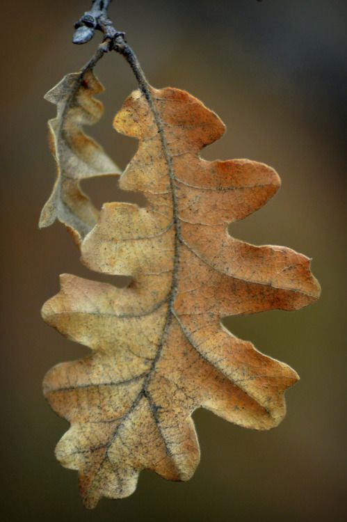 coffeenuts: fatchance:Remnants: Gambel oak (Quercus gambelii). On the Arizona Trail near Fisher Point, in the Coconino National Forest, Arizona.