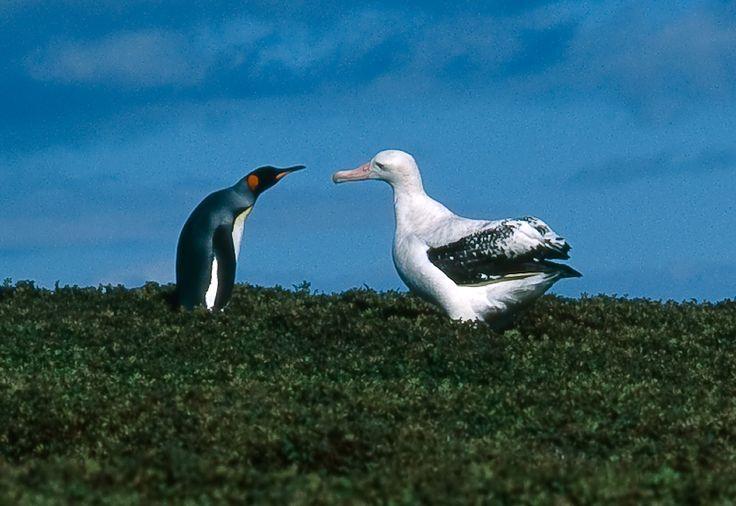 Kerguelen Islands FT5XT Tourist attractions spot Wandering albatross and king penguin.