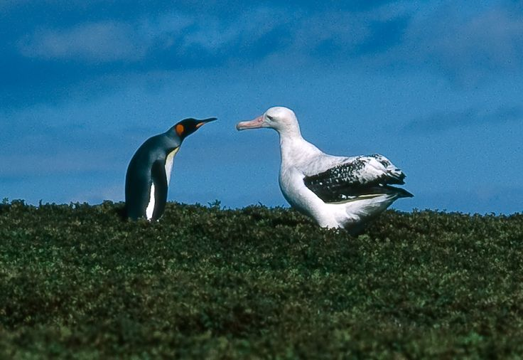 Kerguelen Islands FT5XT Tourist attractions spot Wandering albatross and king penguin.
