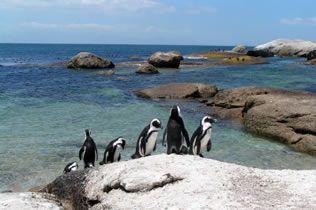 Simonstown Penguins
