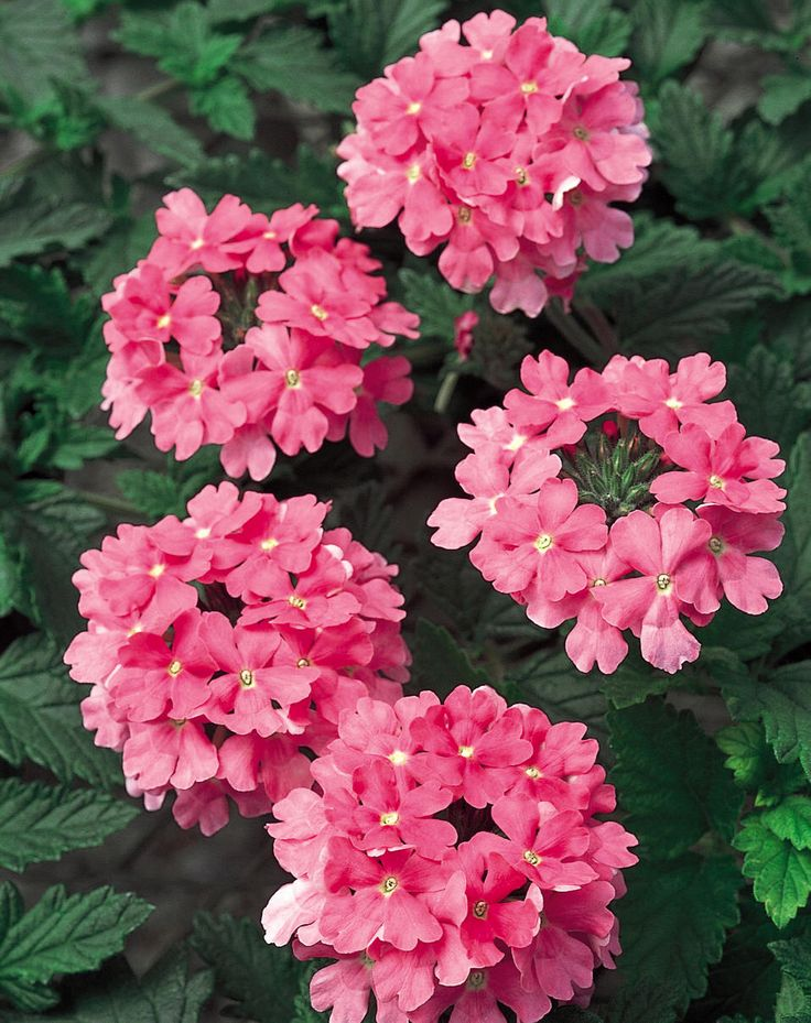 Image from http://loghouseplants.com/plants/wp-content/uploads/2013/01/Verbena-Temari-Patio-Hot-Pink.jpg.