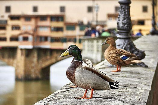 Spring Love Ducks by George Westermak#George Westermak#FineArtPrints#wild animals