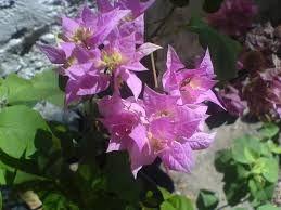 Resultado de imagen para coronas de cristo plantas morada
