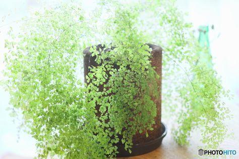 「アジアンタム」は細かく繊細な葉っぱが美しい観葉植物です。直射日光に当たると葉が傷んでしまうので、一年を通して日陰で育てられます。一方で、注意すべきなのは乾燥と寒さ。こまめに水やりをすること、冬は8℃以上の部屋に置くことを心がけましょう。