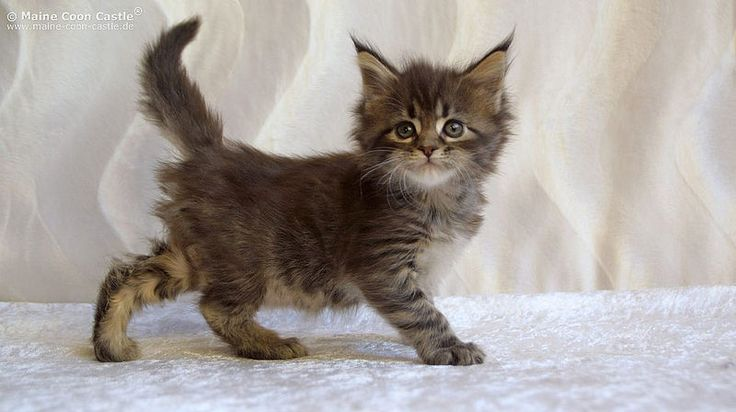 Nanni Of Maine Coon Castle 6 Weeks Old Katzenbaby