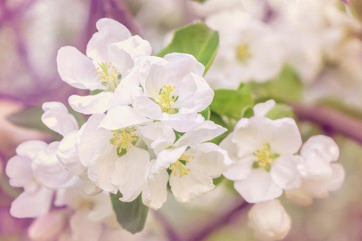 Jane Star Photograph - Springtime - Blooming Tree - 4, Tone 1 by Jane Star  #JaneStar #Spring #AppleTree #ArtForHome #InteriorDesign #HomeDecor
