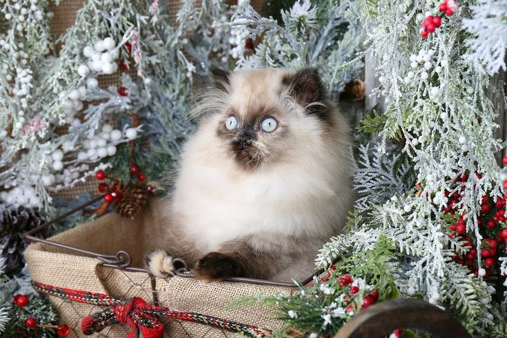 Jasmine - Click Here - Ultra Rare Persian Kittens For Sale - (660) 292-2222 - Located in Northern Missouri (Shipping Available)Ultra Rare Persian Kittens For Sale – (660) 292-2222 – Located in Northern Missouri (Shipping Available)
