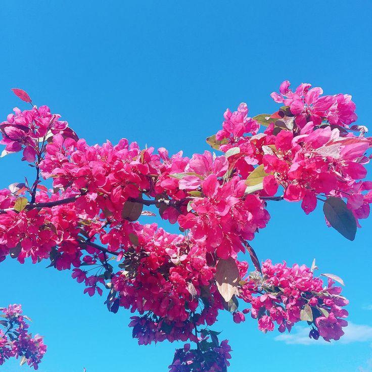 """71 Likes, 3 Comments - k á s s i a x a v i e r (@kassiaxavier) on Instagram: """"É primavera, deixa florear! 🌺 #oxentenocanadá"""""""