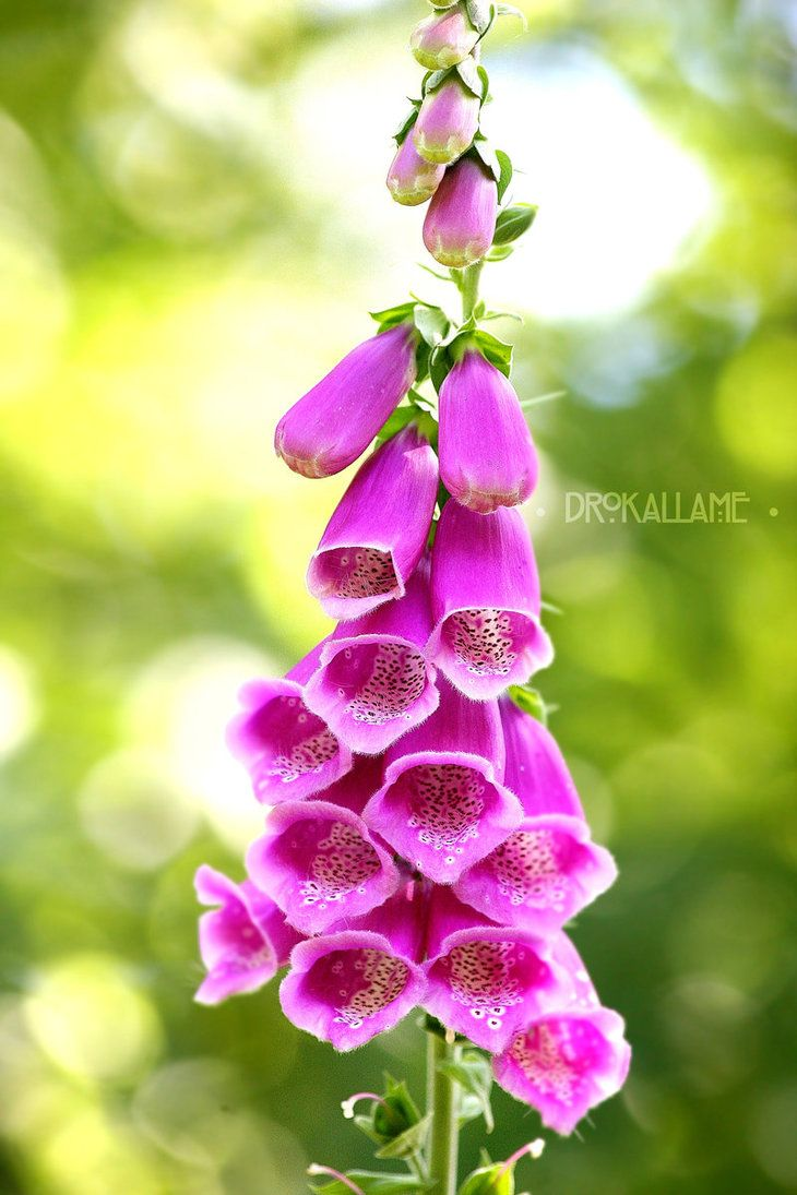 Foxgloves by Drokallame.deviantart.com on @DeviantArt