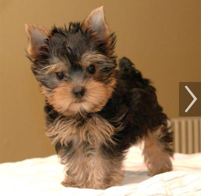 Oh so cute. Miniature Yorkie Yorkie puppy, Teacup yorkie