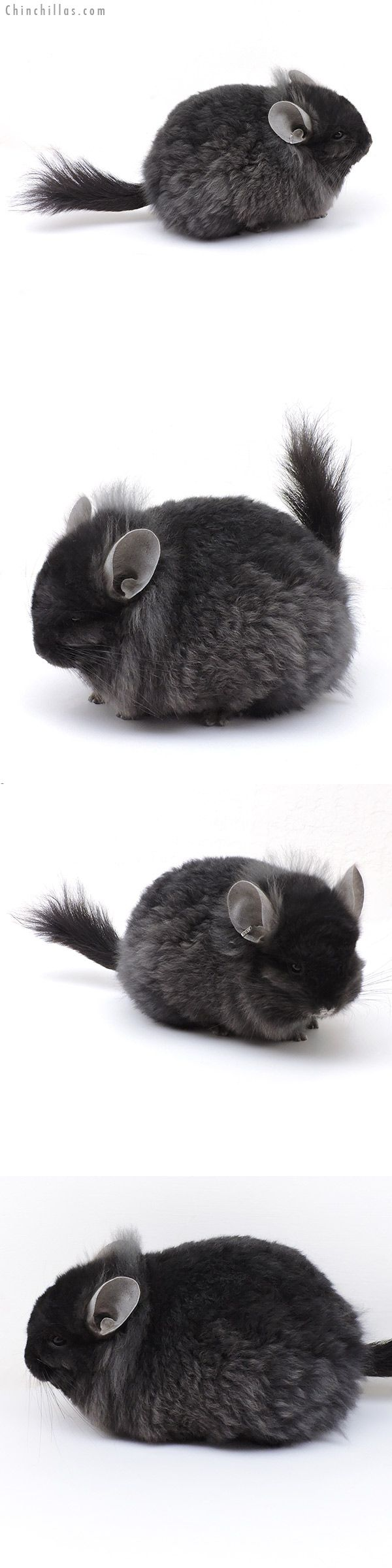 Exceptional Ebony CCCU Royal Imperial Angora Male with Lion Mane Chinchilla