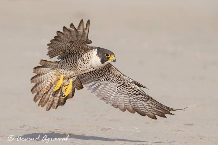 Peregrine falcons have more than just speed on their side.