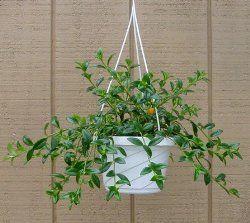 Goldfish Plant Care Tips - Columnea gloriosa
